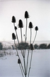 photo of teasles against a snowy Lee Moor landscape